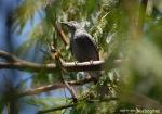 Kepudang Sungu Kecil | Lesser Cuckooshrike | Coracina fimbriata