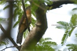 Wiwik Uncuing | Rusty-breasted Cuckoo | Cacomantis sepulcralis