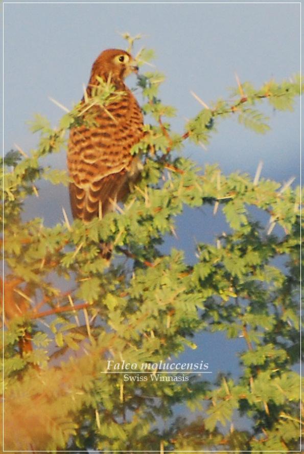 Falconiformes. sub Falconidae - sub fam Falconinae - gênero Falco - Página 2 Alap-alap-sapi3