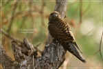 Alap alap Sapi | Spotted Kestrel | Falco moluccensis