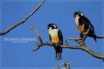 Alap-alap Capung | Black-thighed Falconet | Microhierax fringillarius