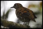 Anis Sisik | Scaly Thrush | Zoothera dauma