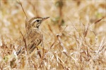 Apung Tanah | Paddyfield Pipit | Anthus rufulus