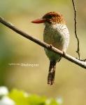 Cekakak Batu | Banded Kingfisher | Lacedo puchella