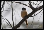 Bentet Kelabu | Long-tailed Shrike | Lanius schach