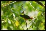 Bondolhijau Binglis | Pin-tailed Parrot-Finch | Erythrura prasina