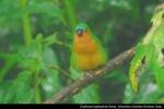 Bondolhijau Dada-merah | Tawny-breasted Parrot-Finch | Erythrura hyperythraTawny-breasted Parrot-Finch