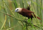 Bondol Haji | White-headed Munia | Lonchura maja