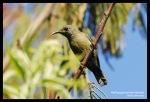 Burungmadu Gunung | White-flanked Sunbird | Aethopyga eximia