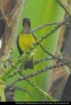 Burungmadu Kelapa | Brown-throated Sunbird | Anthreptes malacensis