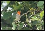 Cabai Jawa   Scarlet-headed Flowerpecker   Dicaeum trochileum