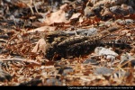 Cabak Kota | Savanna Nightjar | Caprimulgus affinis