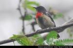Cabai Gunung   Blood-breasted Flowerpecker   Dicaeum sanguinolentum