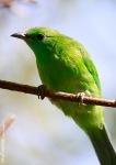 Cica-daun Sayap-hijau | Blue-winged Leafbird | Chloropsis cochinchinensis