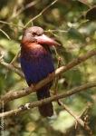 Cekakak Jawa | Javan Kingfisher | Halcyon cyanoventris