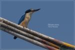 Cekakak Suci | Cekakak Australia, Sacred Kingfisher | Halcyon sancta