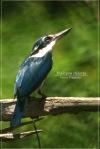 Cekakak Sungai | Collared Kingfisher | Halcyon chloris