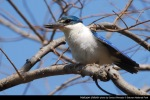 Cekakak Sungai | Collared Kingfisher | Halcyon chloris