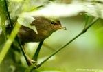 Ceret Gunung | Sunda Bush Warbler | Cettia vulcania