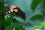 Cicakopi Melayu   Chestnut-backed Scimitar- Babbler   Pomatorhinus montanus