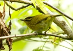 Cikrak Daun | Mountain Leaf Warbler | Phylloscopus trivirgatus
