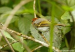 Cikrak Muda | Sunda Warbler | Seicercus grammiceps