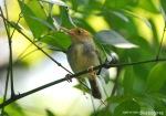 Cinenen Jawa | Olive-backed Tailorbird | Orthotomus sepium
