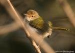 Cinenen Pisang | Common Tailorbird | Orthotomus sutorius