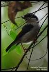 Ciu Besar   White-browed Shrike- Babbler   Pteruthius flaviscapis