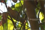 Ciungair Jawa   Grey-cheeked Tit-Babbler   Macronous flavicollis