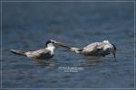 Dara laut Benggala | Lesser Crested Tern | Sterna bengalensis