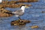 Dara laut Jambul | Swift Tern | Sterna bergii
