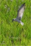 Dara laut Kumis | Whiskered Tern | Chlidonias hybridus