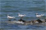 Dara laut Tengkuk-hitam | Black-naped Tern | Sterna sumatrana