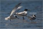 Dara laut Kecil | Little Tern | Sterna albifrons