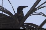 Gagak Hutan | Slender-billed Crow | Corvus enca