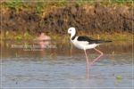 Gagang Bayam-belang | White-headed Stilt | Himantopus leucocephalus