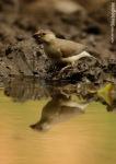 Gelatik Jawa | Java Sparrow | Padda oryzivora