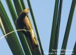 Isap Madu Indonesia | Indonesian Honeyeater | Lichmera limbata