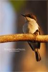 Jingjing Batun | Black-winged Flycatchershrike | Hemipus hirundinaceus