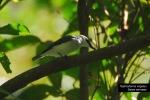 Jingjing Petulak | Large Woodshrike | Tephrodornis virgatus
