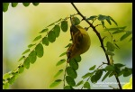 Kacamata Biasa | Oriental White-eye | Zosterops palpebrosus