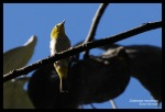Kacamata Gunung | Mountain White-eye | Zosterops montanus