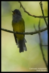 Sikatan Kepala-abu   Grey-headed Canary- Flycatcher   Culicicapa ceylonensis