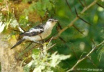 Kapasan Sayap-putih | White-shouldered Triller | Lalae sueurii