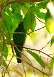 Kecembang Gadung | Asian Fairy Bluebird | Irena puella