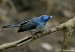 Kehicap Ranting | Black-naped Monarch | Hypothymis azurea