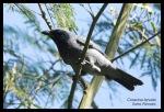 Kepudangsungu Gunung | Sunda Cuckooshrike | Coracina larvata