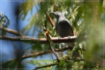 Kepudangsungu Kecil | Lesser Cuckooshrike | Coracina fimbriata
