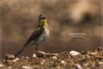 Kicuit Kerbau | Western Yellow Wagtail | Motacilla flava